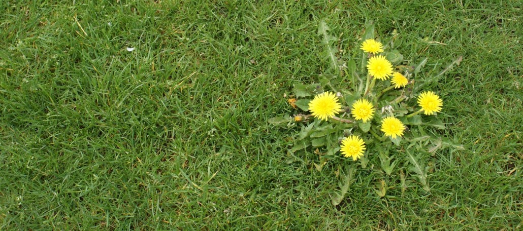 Dandelion Weed Control - Lawn Applications Springfield MO