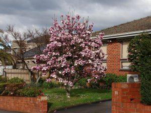 saucer-magnolia-tree-service-company-springfield-mo