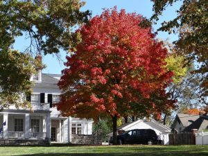 Sugar Maple - Tree Service Company Springfield MO