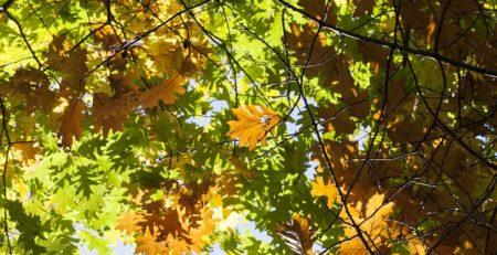 Oak Wilt Disease - Gabris Landscaping Springfield MO